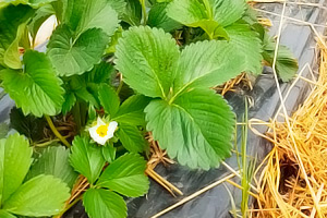 Цветение садовой земляники